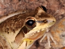 mg_8894highres_litoria_watjulu_male_watermark