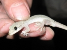 hemidactylus_cropped_watermark