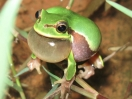 hyla_annectans_cropped_29july09_watermark