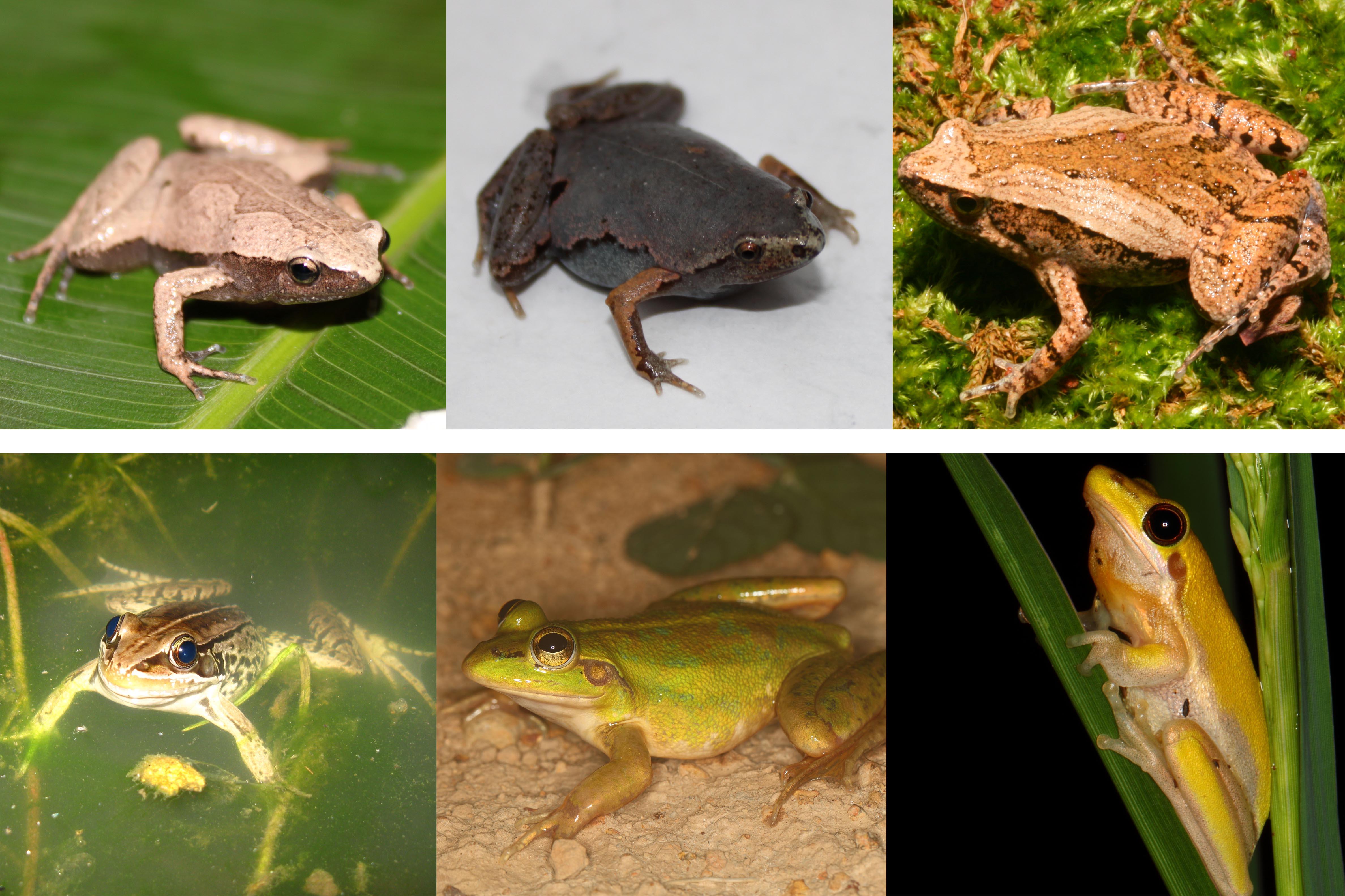 ECD-ISE_frogs